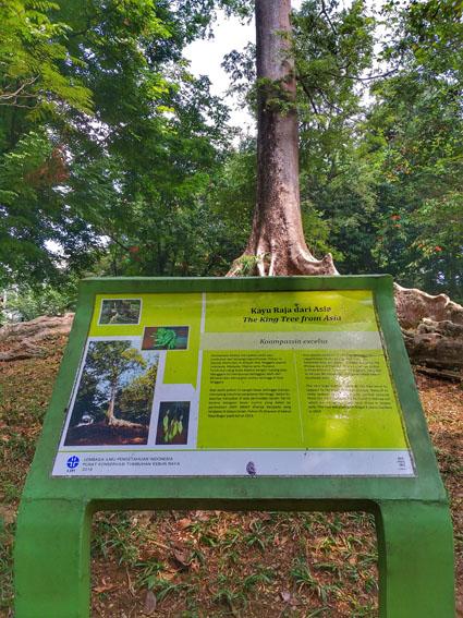Pohon Kayu Raja
